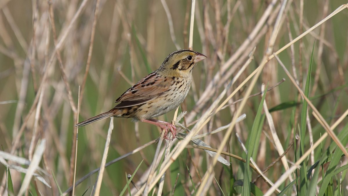 Images of Henslow's Sparrow | 1200x678