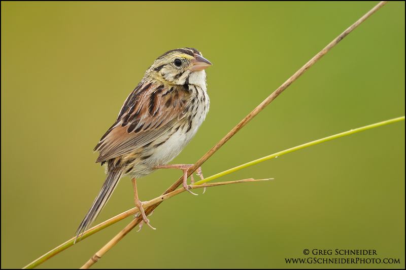 Henslow's Sparrow Pics, Animal Collection
