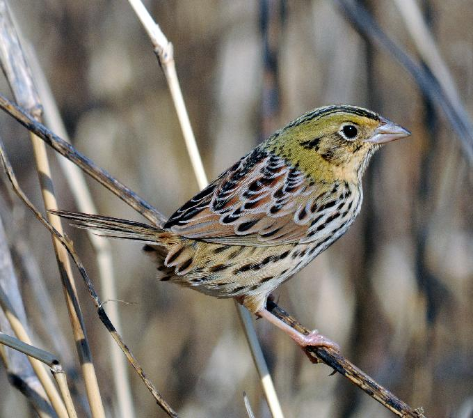 Henslow's Sparrow Backgrounds on Wallpapers Vista