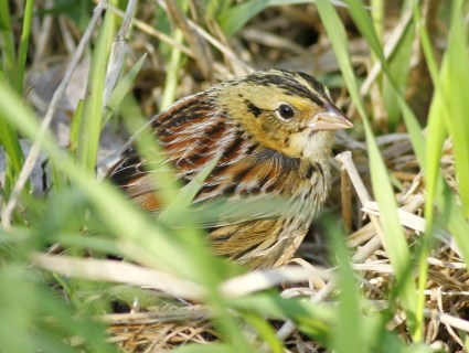 Amazing Henslow's Sparrow Pictures & Backgrounds