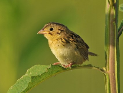 Nice Images Collection: Henslow's Sparrow Desktop Wallpapers