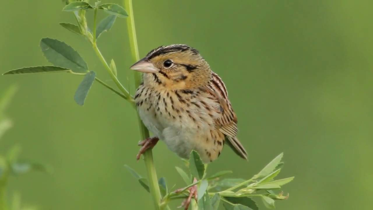 Henslow's Sparrow Backgrounds, Compatible - PC, Mobile, Gadgets| 1280x720 px