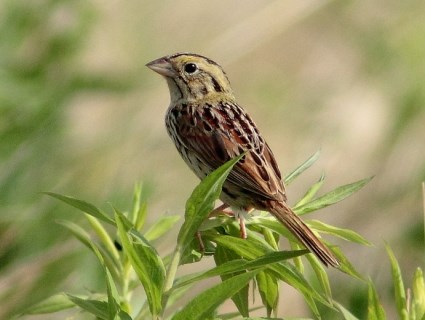 High Resolution Wallpaper | Henslow's Sparrow 425x320 px
