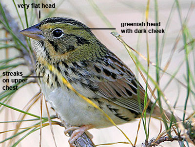 Nice wallpapers Henslow's Sparrow 400x303px