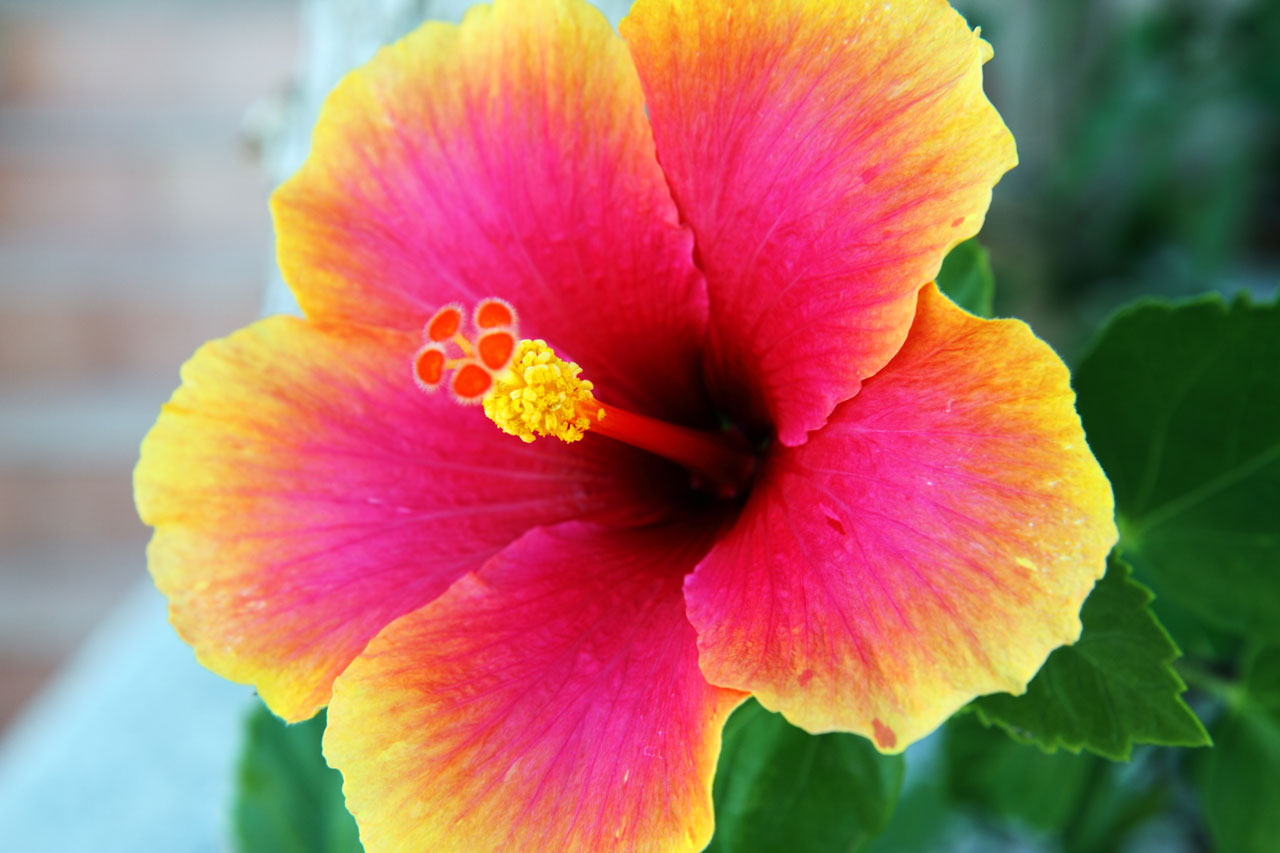 Hibiscus High Quality Background on Wallpapers Vista