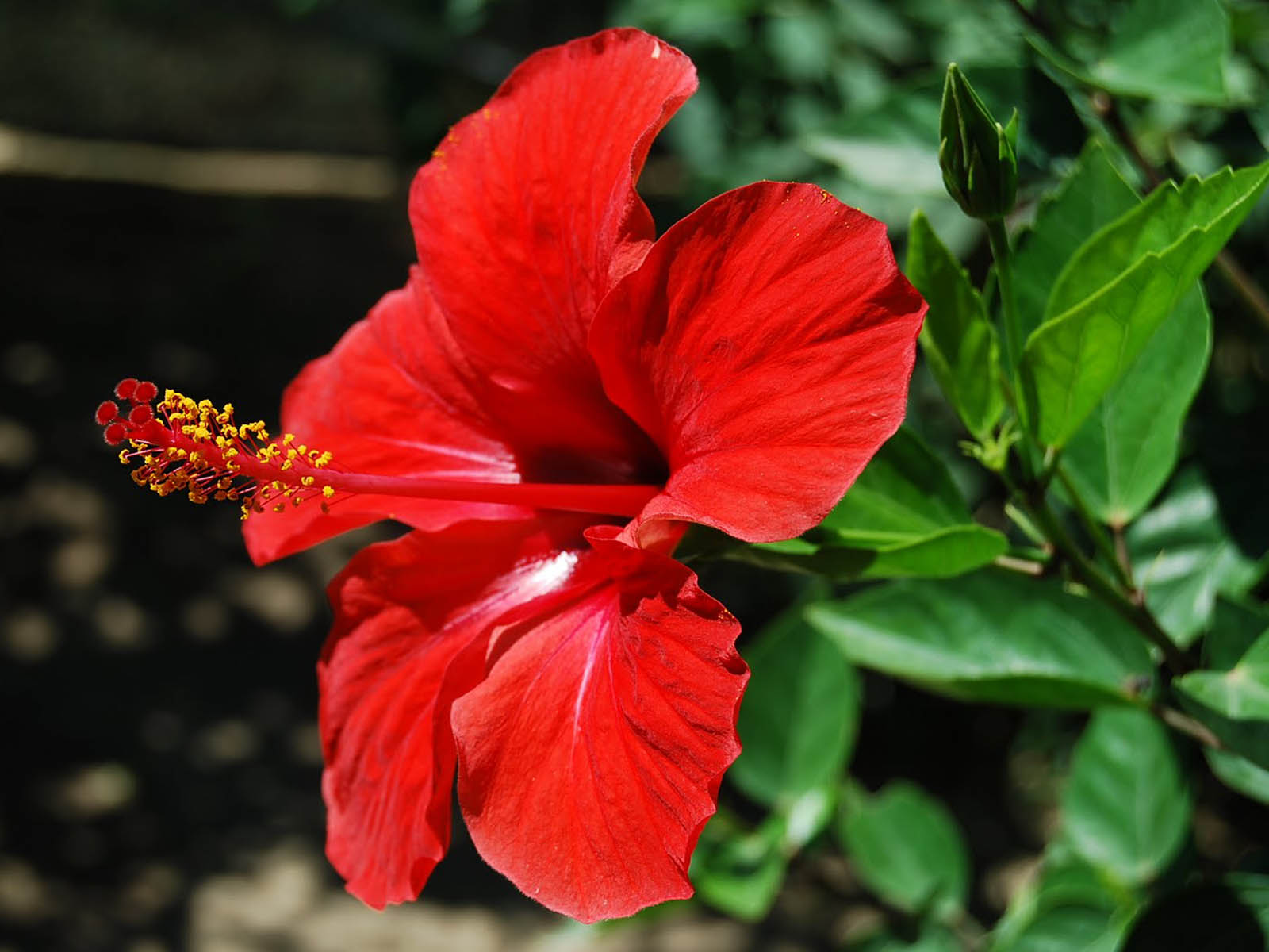 Nice Images Collection: Hibiscus Desktop Wallpapers