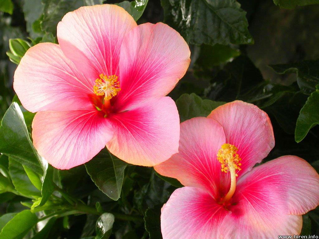 Hibiscus Backgrounds, Compatible - PC, Mobile, Gadgets| 1024x768 px