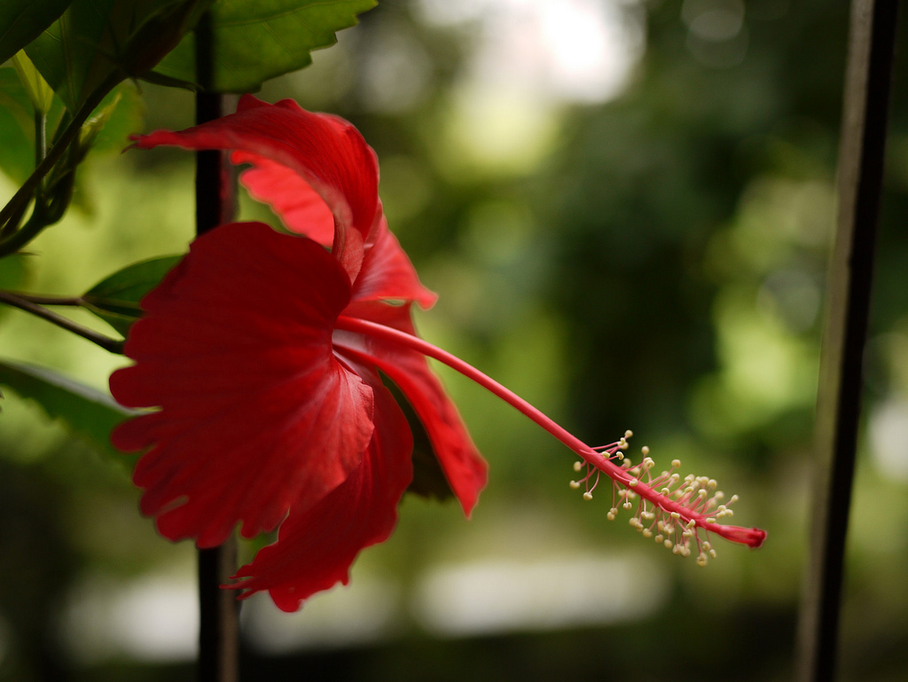 1024x769 > Hibiscus Wallpapers