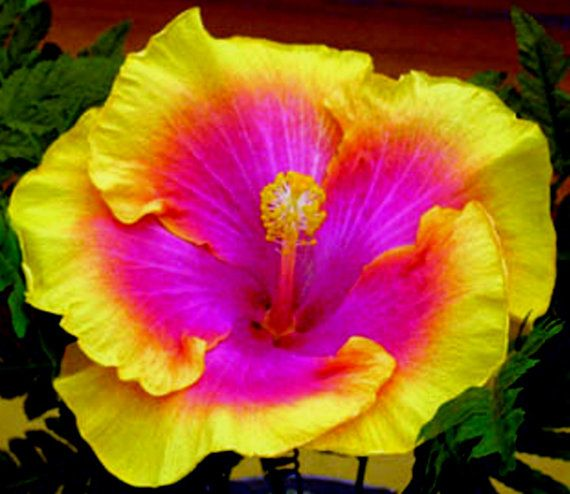 Hibiscus Pics, Earth Collection