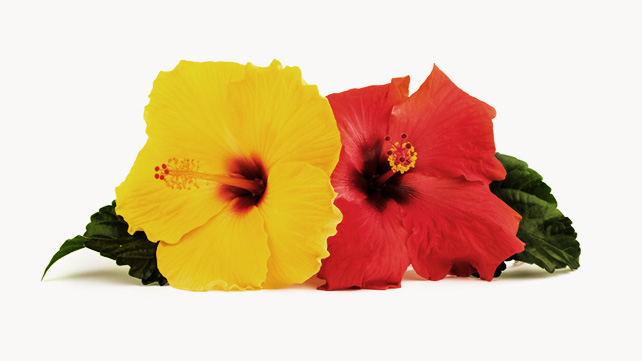 Nice wallpapers Hibiscus 642x361px