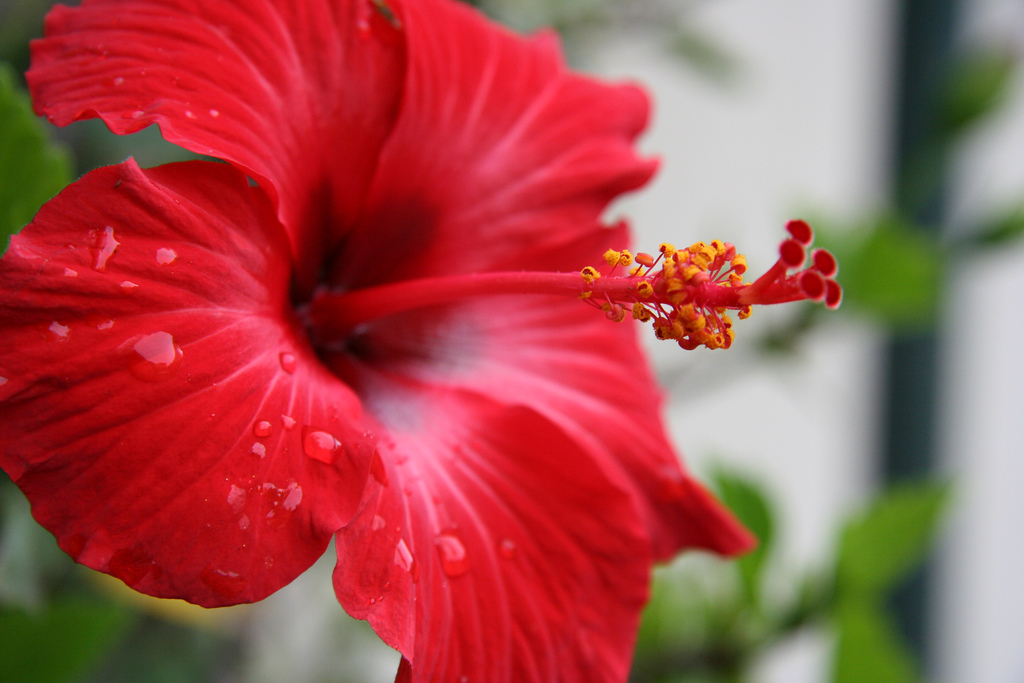 Hibiscus Backgrounds, Compatible - PC, Mobile, Gadgets| 1024x683 px