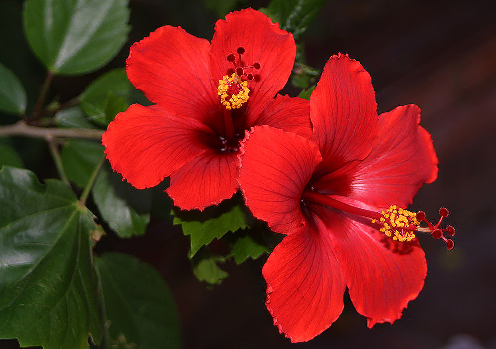 HD Quality Wallpaper | Collection: Earth, 995x700 Hibiscus