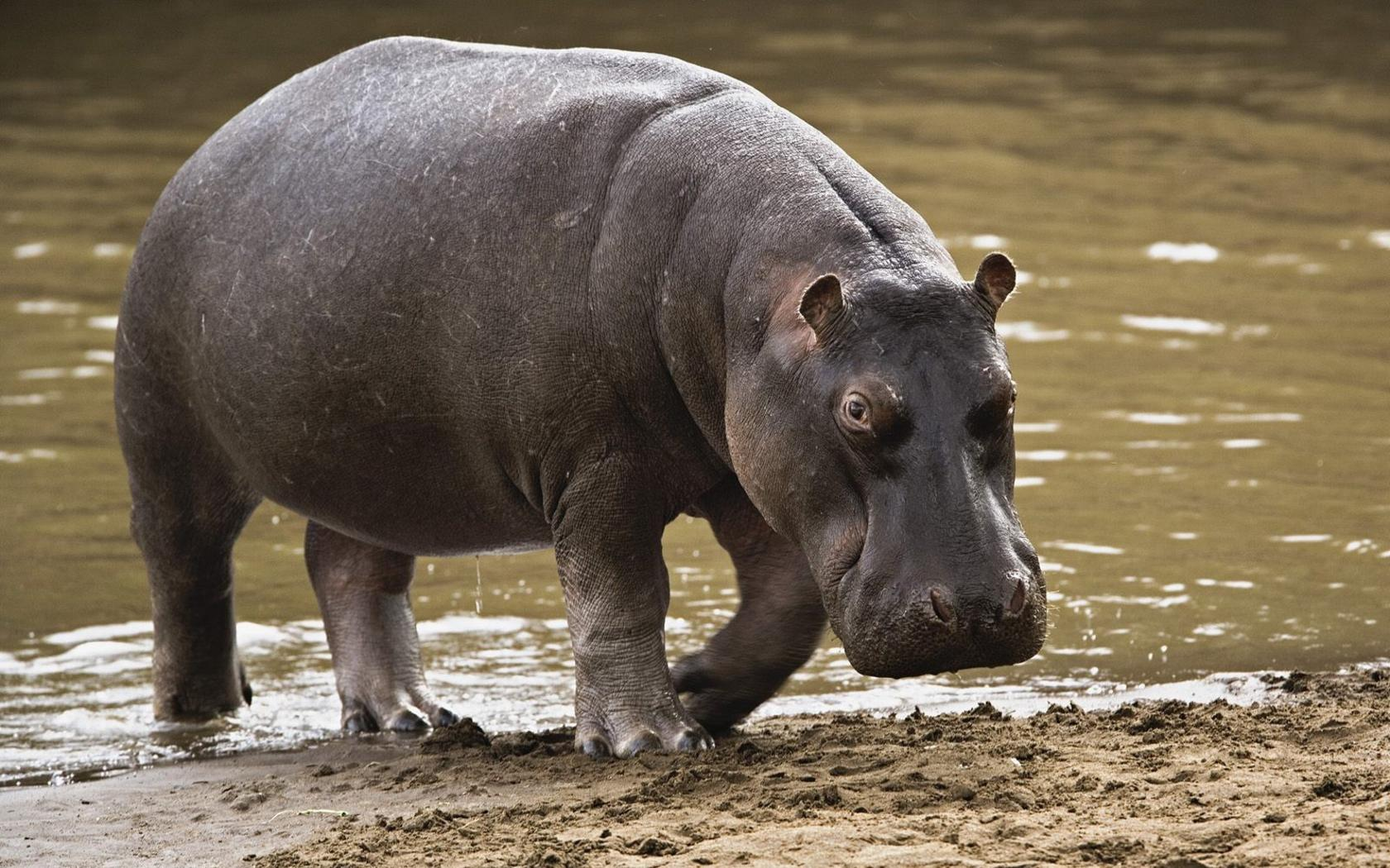 HQ Hippo Wallpapers | File 274.63Kb