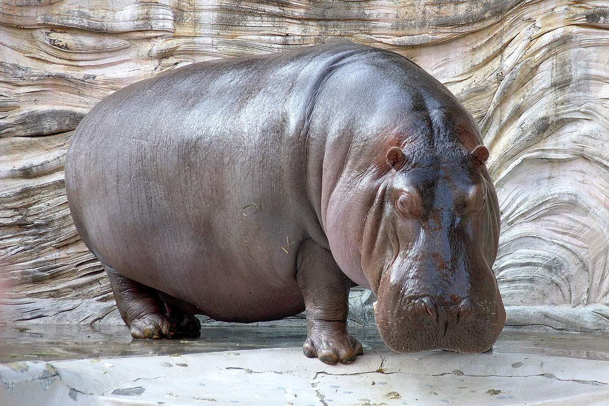HD Quality Wallpaper | Collection: Animal, 1200x800 Hippo