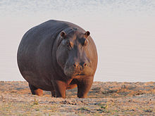 Amazing Hippo Pictures & Backgrounds