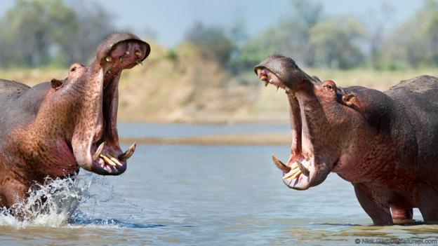 Images of Hippo | 624x351