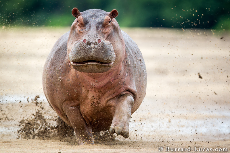 High Resolution Wallpaper | Hippo 800x533 px