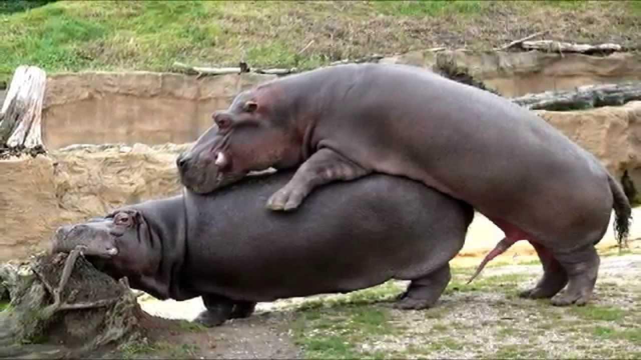 Hippo HD wallpapers, Desktop wallpaper - most viewed