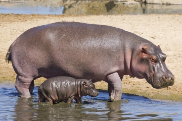 Hippo Backgrounds on Wallpapers Vista