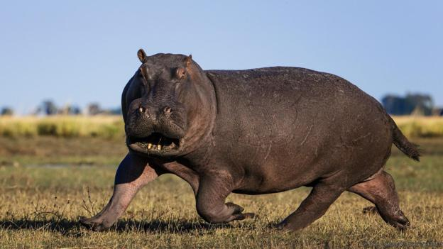 Nice wallpapers Hippo 624x351px