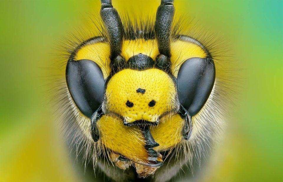 Nice Images Collection: Hornet Desktop Wallpapers