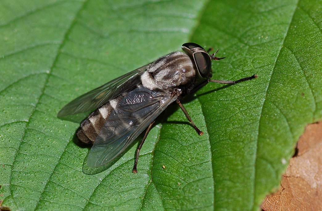 Horse-fly Backgrounds on Wallpapers Vista