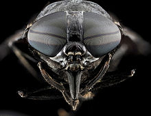 Images of Horse-fly | 220x170