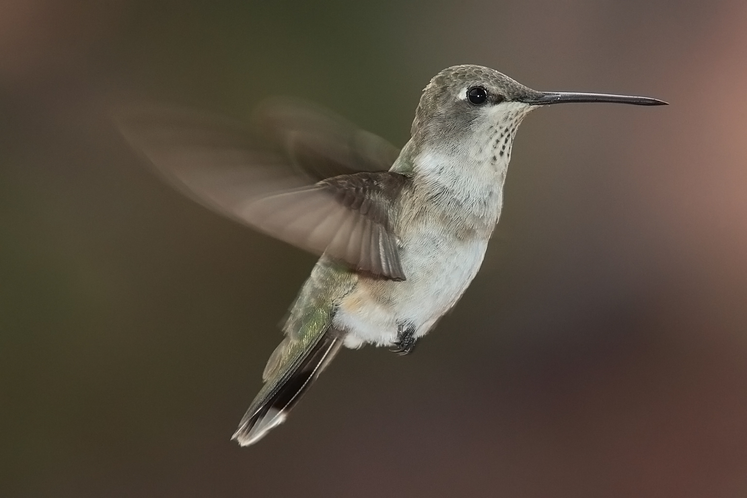 1536x1024 > Hummingbird Wallpapers