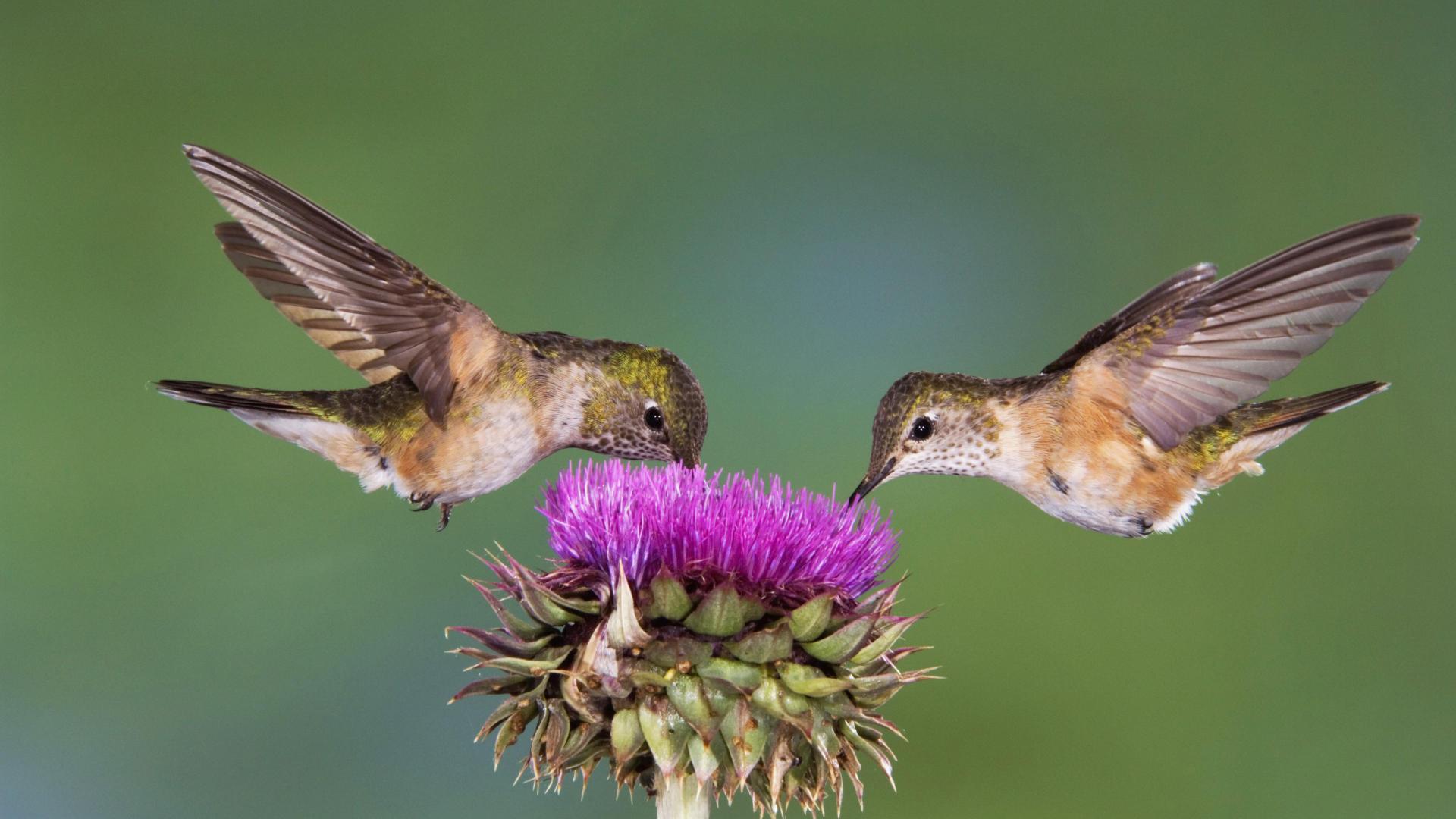 Hummingbird Pics, Animal Collection