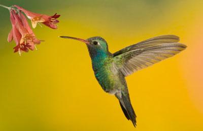 Amazing Hummingbird Pictures & Backgrounds