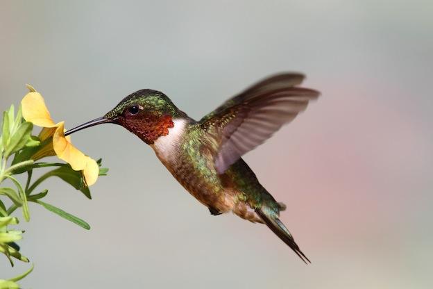 HD Quality Wallpaper | Collection: Animal, 624x416 Hummingbird