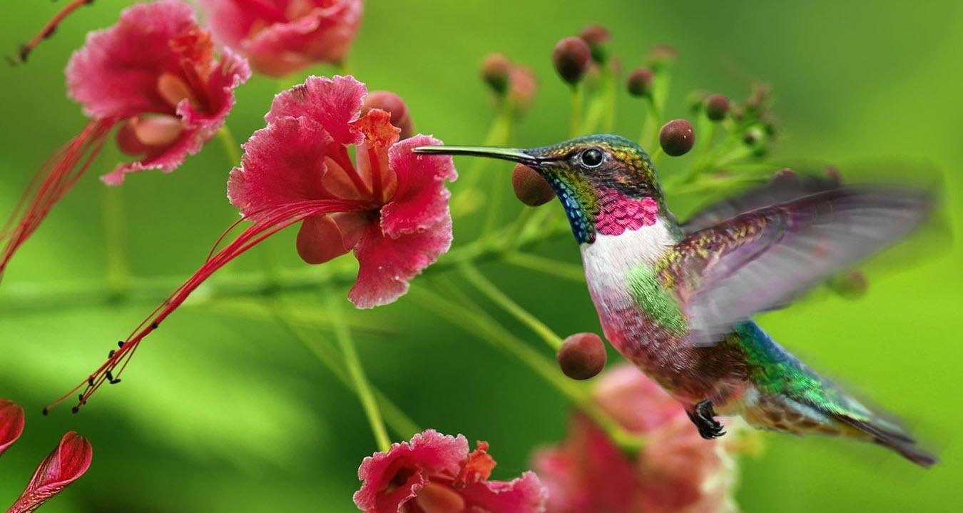 1350x719 > Hummingbird Wallpapers