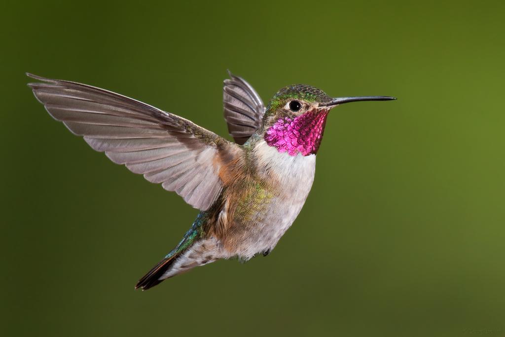 HQ Hummingbird Wallpapers | File 195.43Kb