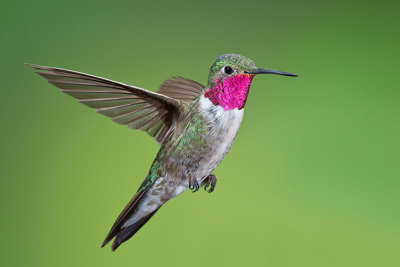 Images of Hummingbird | 800x534