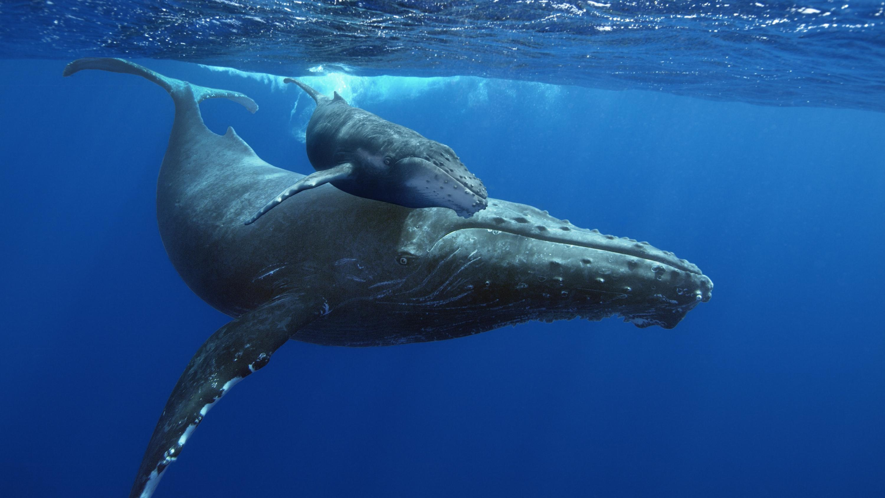 HD Quality Wallpaper | Collection: Animal, 3000x1688 Humpback Whale