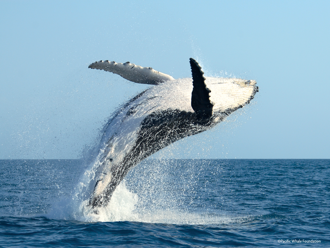 Nice wallpapers Humpback Whale 1152x864px