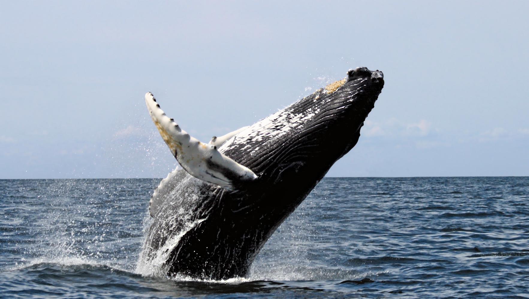 Humpback Whale #3