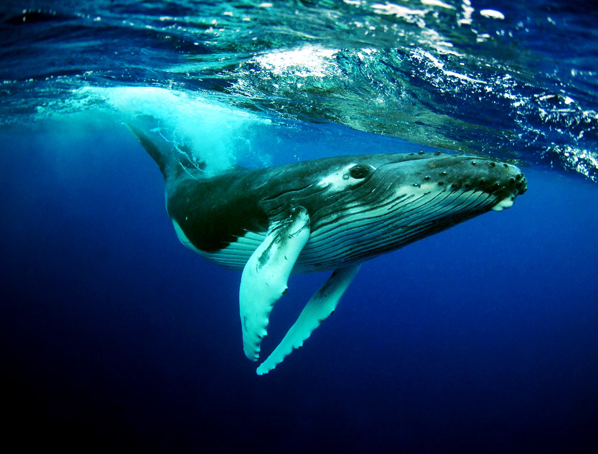 Humpback Whale High Quality Background on Wallpapers Vista