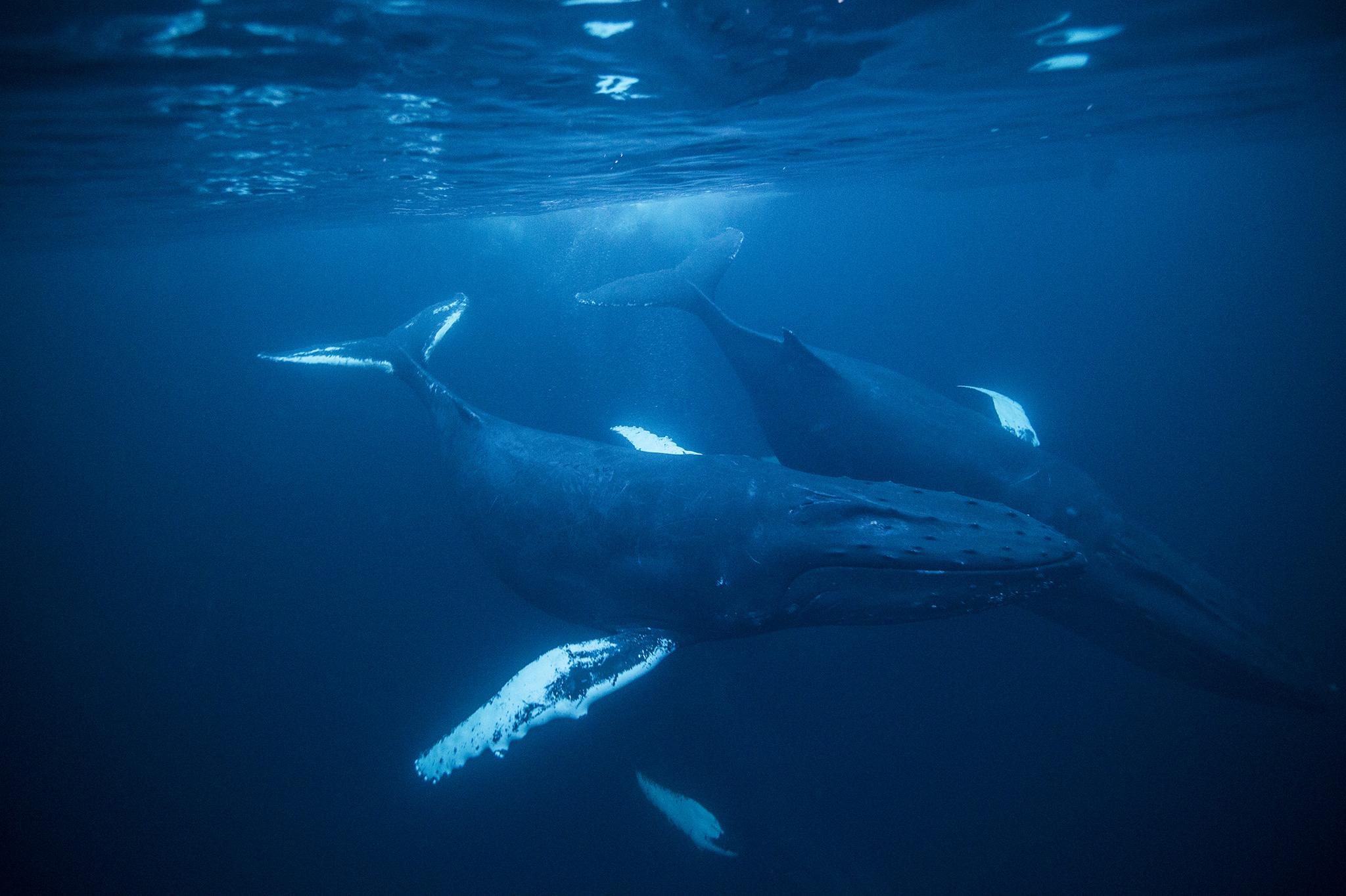 Humpback Whale HD wallpapers, Desktop wallpaper - most viewed