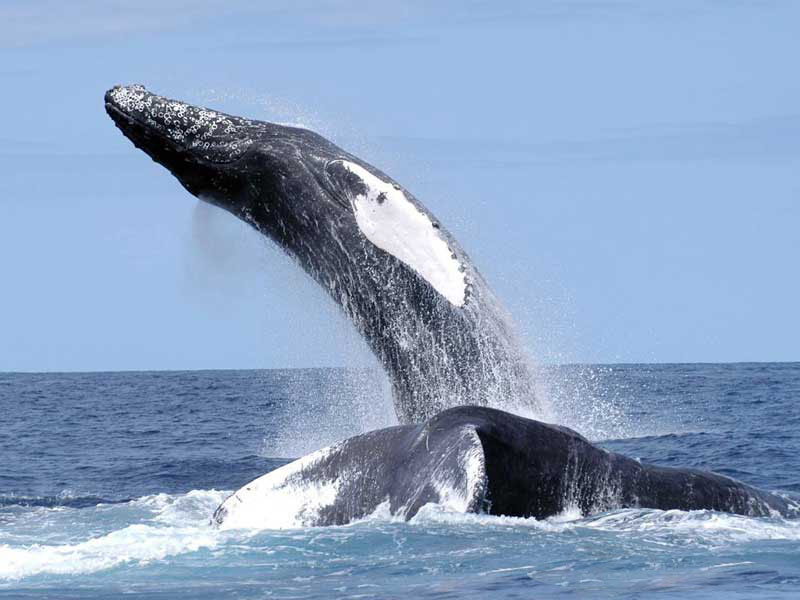 Humpback Whale Pics, Animal Collection