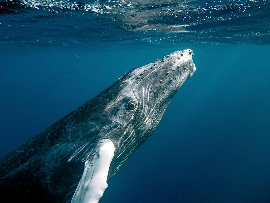 HQ Humpback Whale Wallpapers | File 82.09Kb