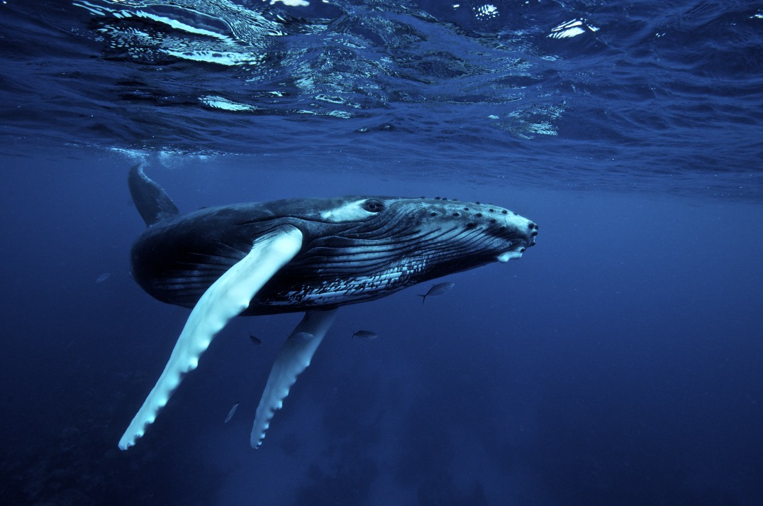 Humpback Whale Backgrounds on Wallpapers Vista