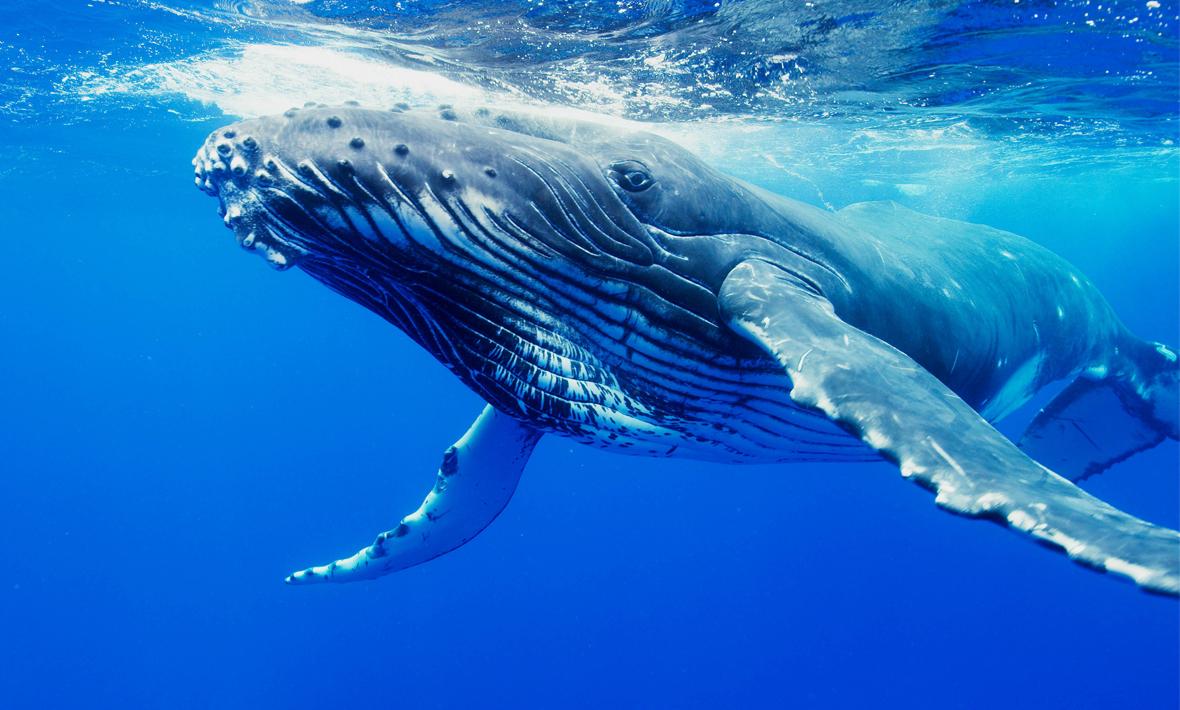 Humpback Whale #19
