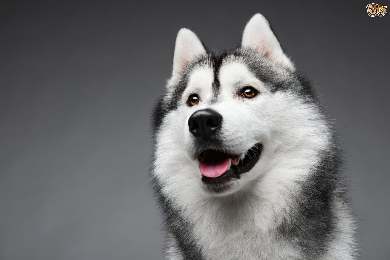 Husky Pics, Animal Collection