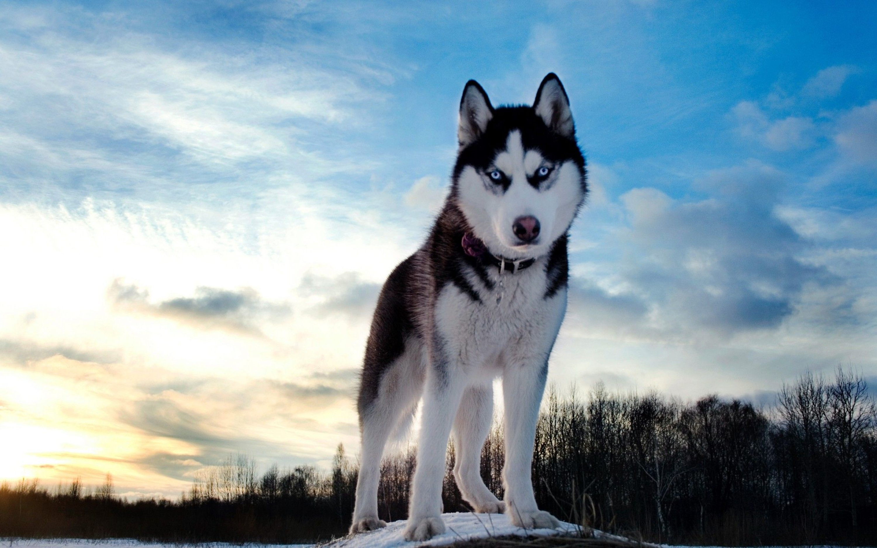 Husky Backgrounds on Wallpapers Vista