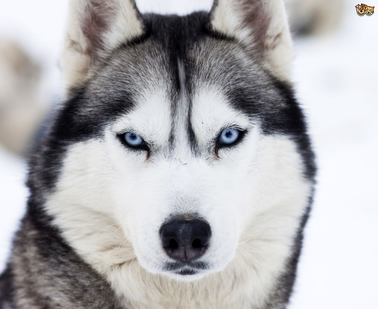 Images of Husky | 1280x1048