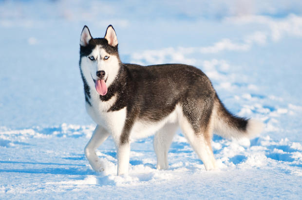 Husky Backgrounds, Compatible - PC, Mobile, Gadgets| 620x411 px