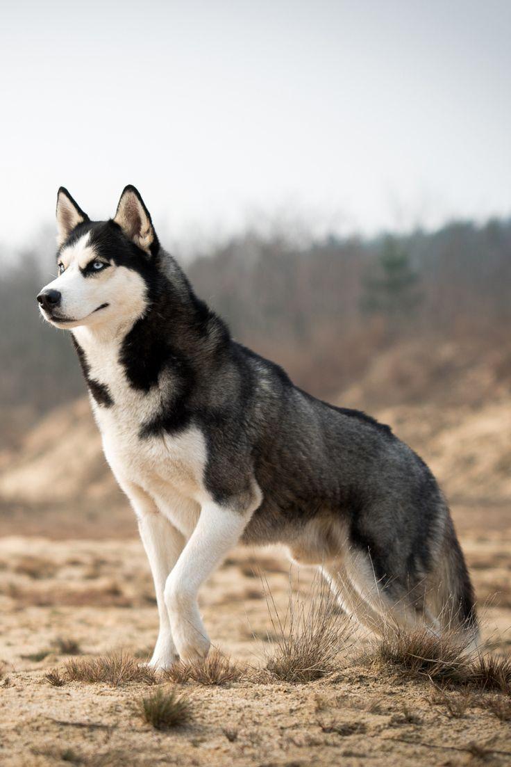 HD Quality Wallpaper   Collection: Animal, 736x1103 Husky