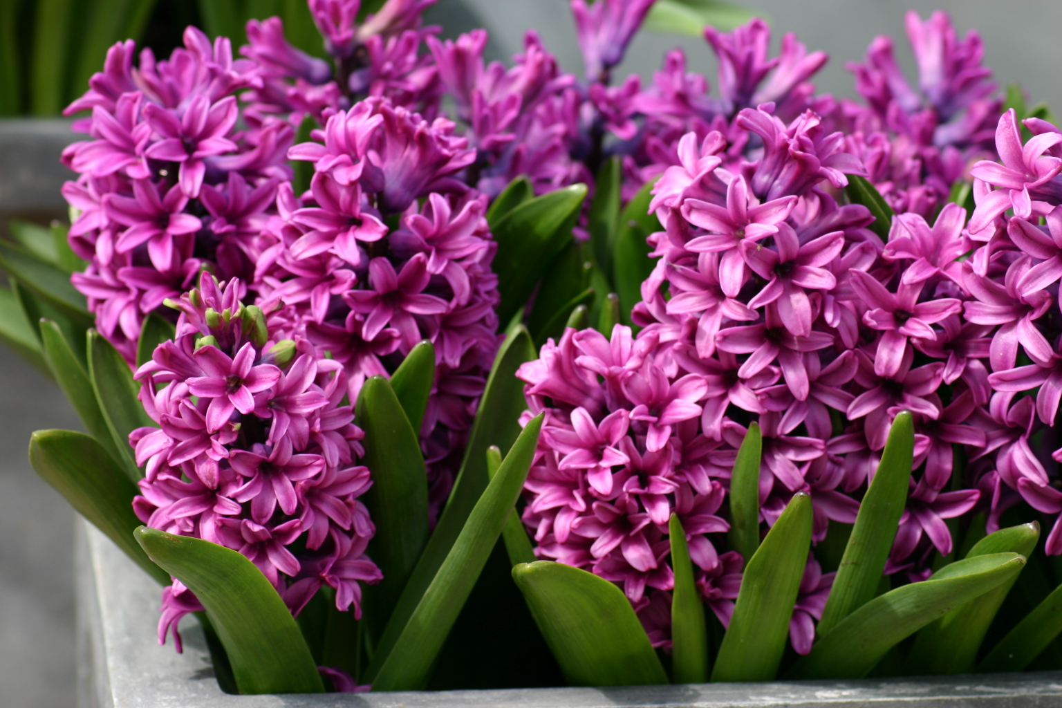 Hyacinth Backgrounds on Wallpapers Vista