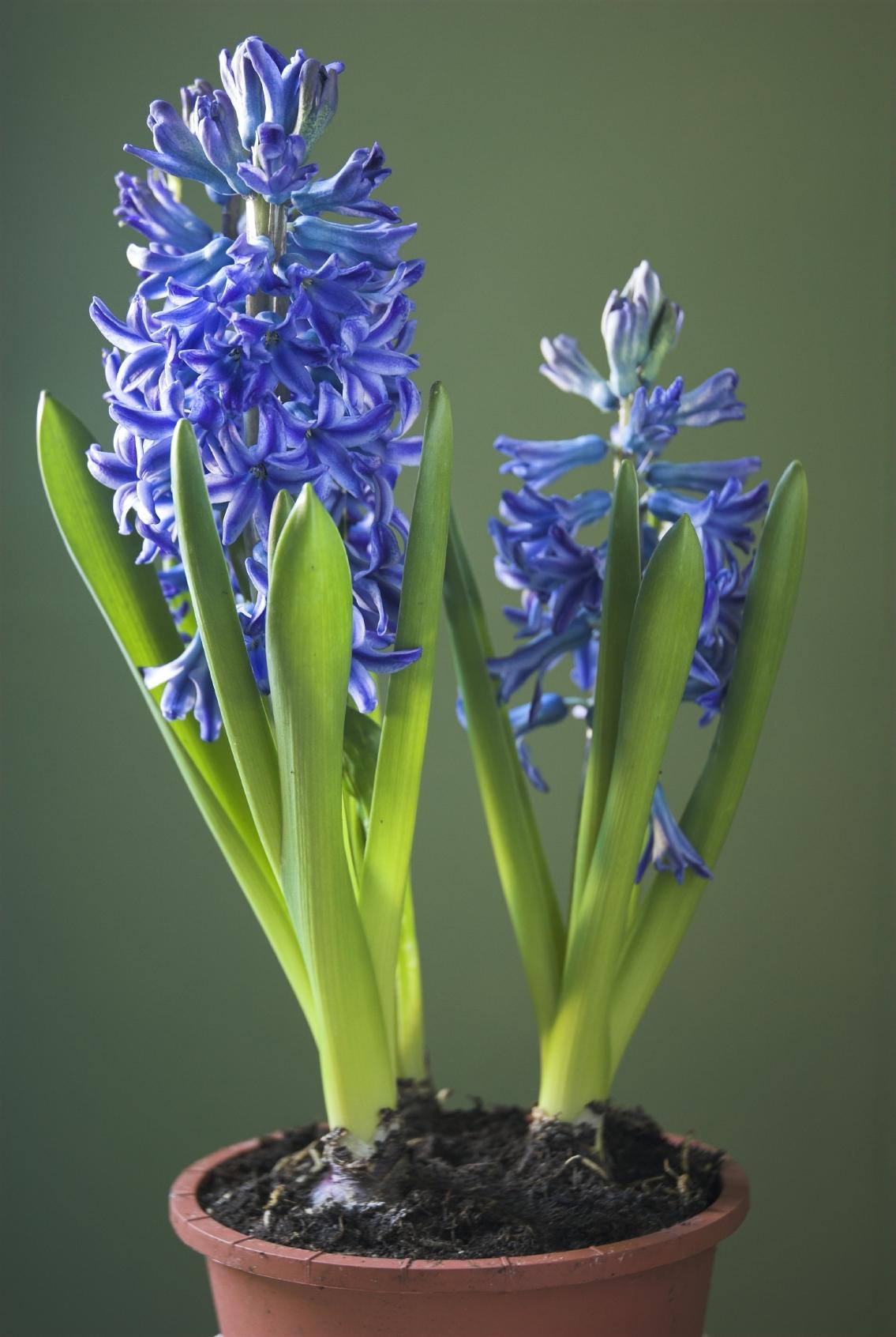 Hyacinth Pics, Earth Collection